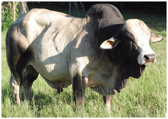 boran cattle breeders u0026 39  society of south africa